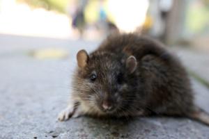 Найдена мышь зараженная чумой